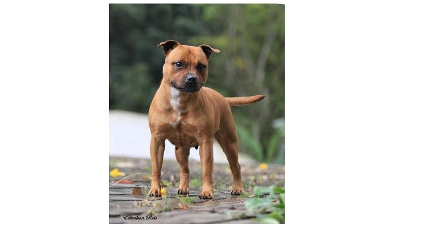 ORIGEM DO STAFFORDSHIRE BULL TERRIER