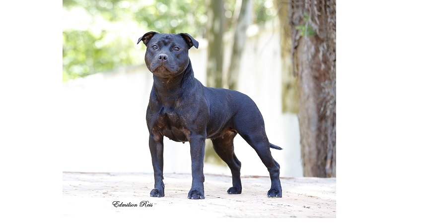 A SAÚDE DO STAFFORDSHIRE BULL TERRIER